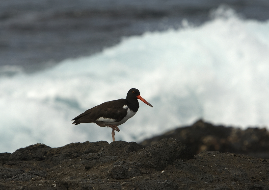 5300_N82_American_Oystercatcher_D08a_Chinese_Hat_784Q6035
