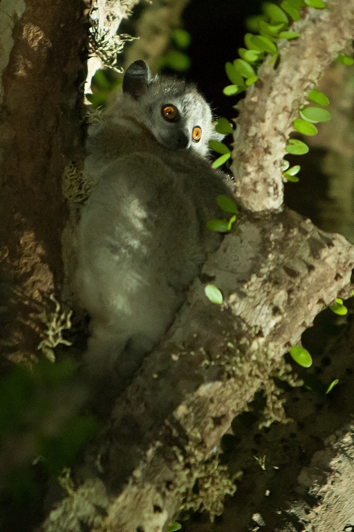 H51_1000_White-footed_Sportive_Lemur_mg12a-5540
