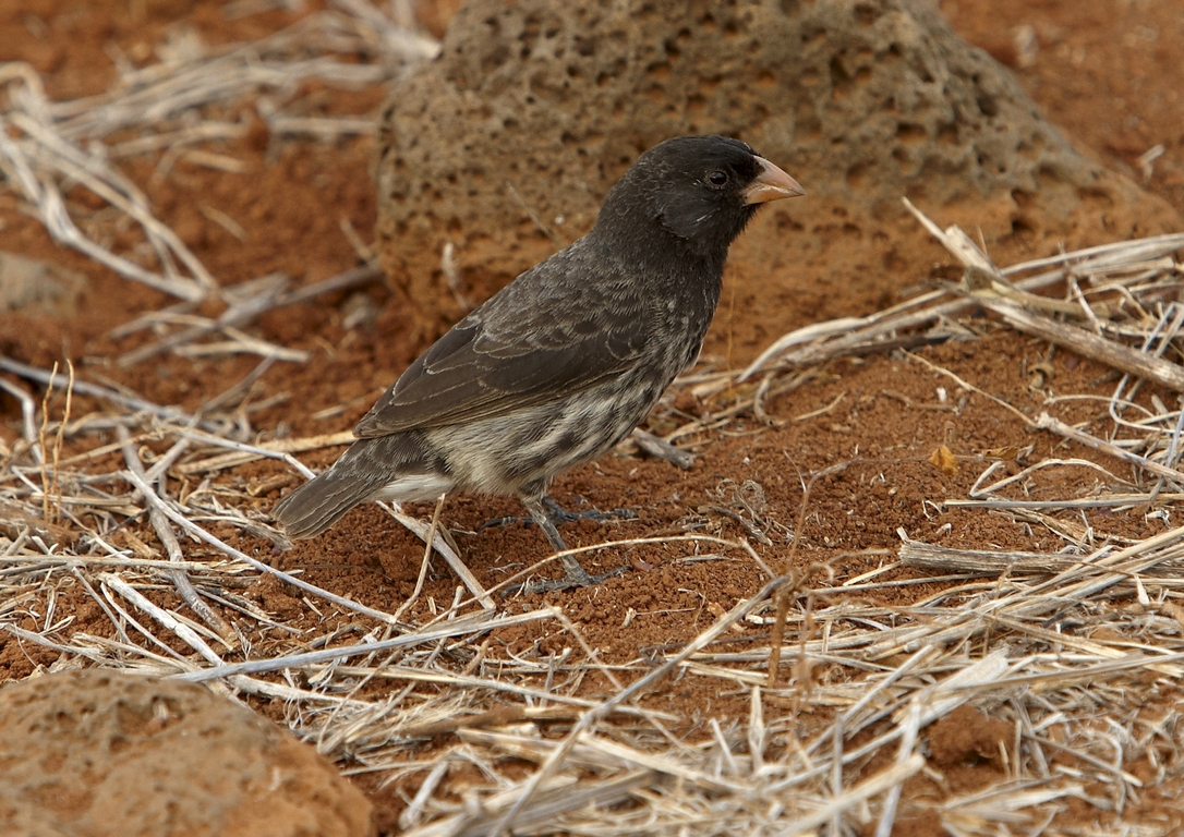6000_N90_Medium_Ground_Finch_D08c_Santa_Cruz_(Dragon_Hill)_784Q6149