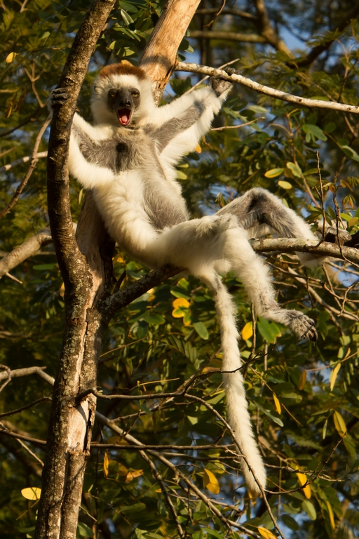 H11_1000_Verreauxs_Sifaka_mg12a-1245
