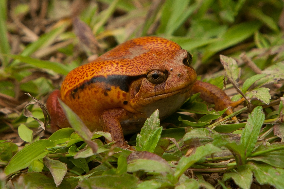 A82_1000_Madagascar_Tomato_Frog_(C)_mg12a-6352