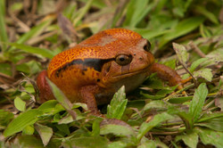 A82_1000_Madagascar_Tomato_Frog_(C)_mg12a-6352