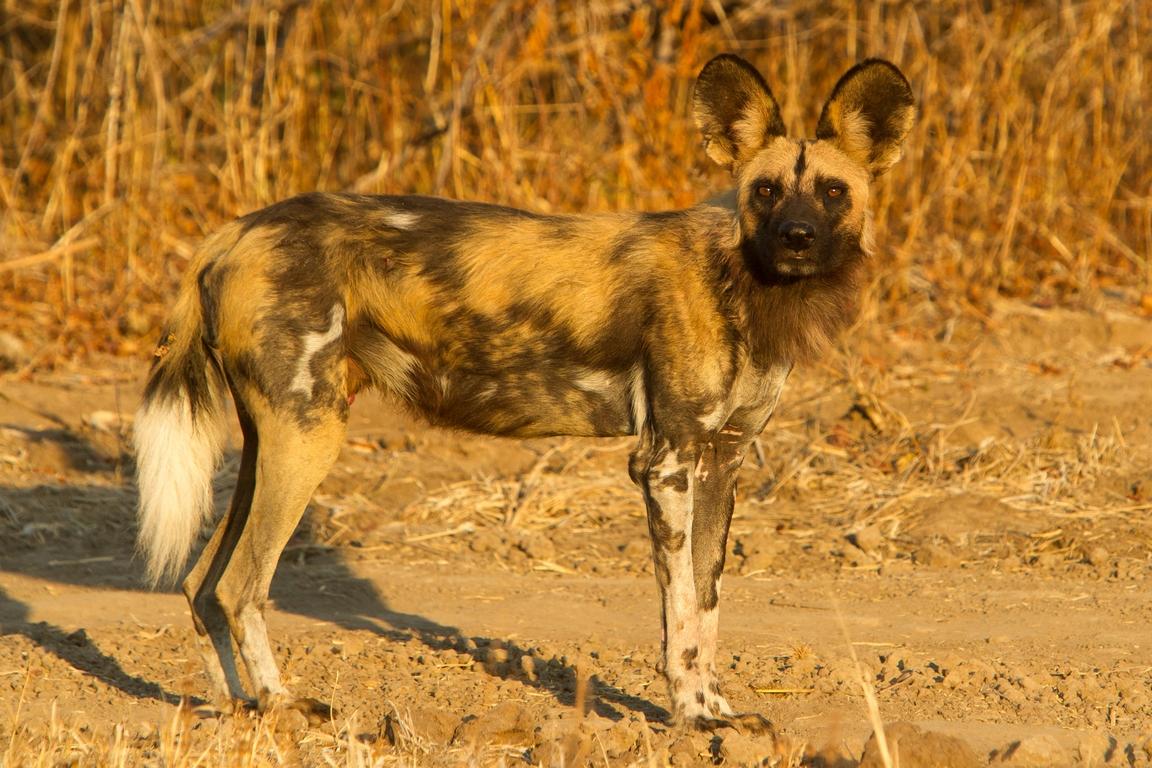A00_1200_African_Wild_Dog_za13a-2857