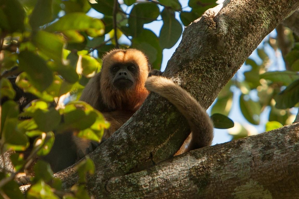 A01_0170_Capuchin_Monkey_br12a-2519