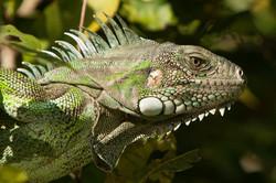 A01_0180_Green_Iguana_br12a-0038