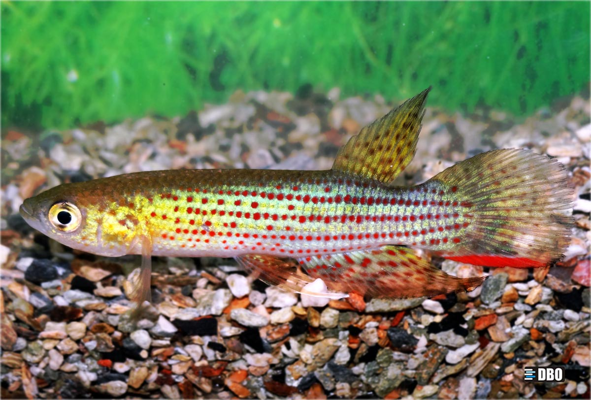Trigonectes rubromarginatus.jpg