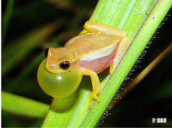 Dendropsophus nanus