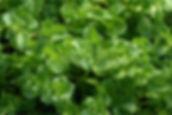 máta kadeřavá rostlina-800x1200_0.jpg