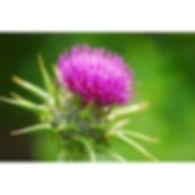 ostropestrec-mariansky-semena-40ks.jpg