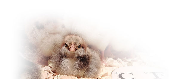 chicks-for-sale-cariboo-blue-farm.jpg