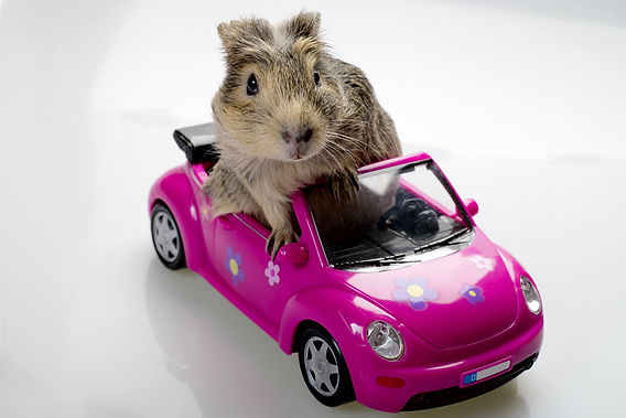guniea pig in car, take your car on a weekly ride, maintain your car, what happens to an unused car, car neglect, what happens to an undriven car