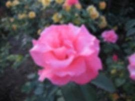 Greg, Tournamant of Roses.jpg