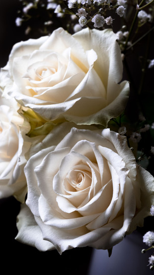 white roses at dusk