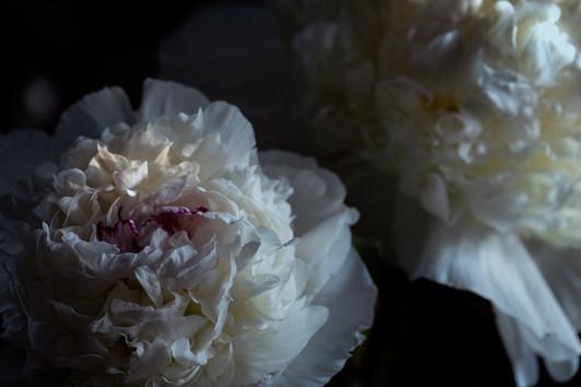 June Peonies at full bloom