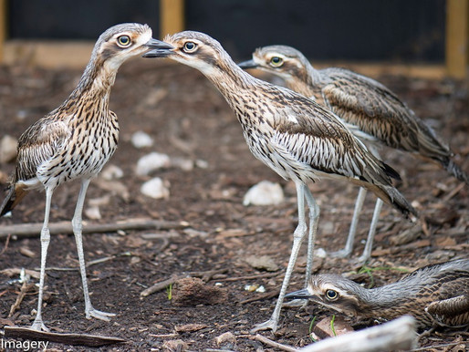 Curlews bring them in, how to get them to stay?