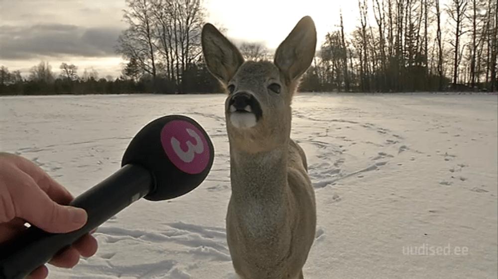 My local news interviewing deer - Imgur