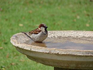 Bird bath - sparrow.jpg