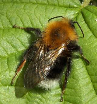 Bumblebee Aware - August  2020
