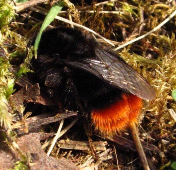 Bumblebee Aware for April 2020