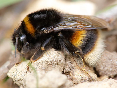 Bumblebee Aware for March 2020