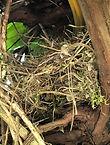 Blackbird nest.jpg