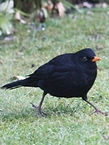 Blackbird_edited_edited.jpg