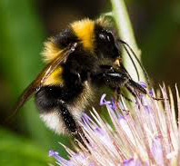 Bumblebee Aware February 2020