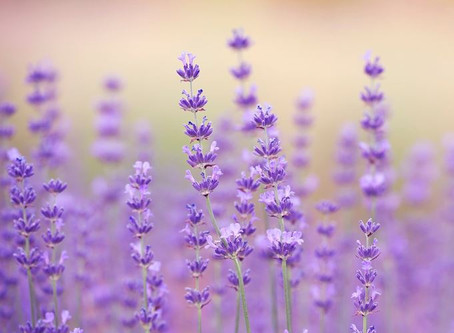 Top 15 Lavender Essential Oil Benefits & Uses