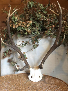 stag antlers