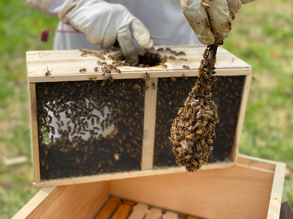 You can't see the the queen cage, because worker bees are surrounding it, protecting the queen & eating the queen candy.