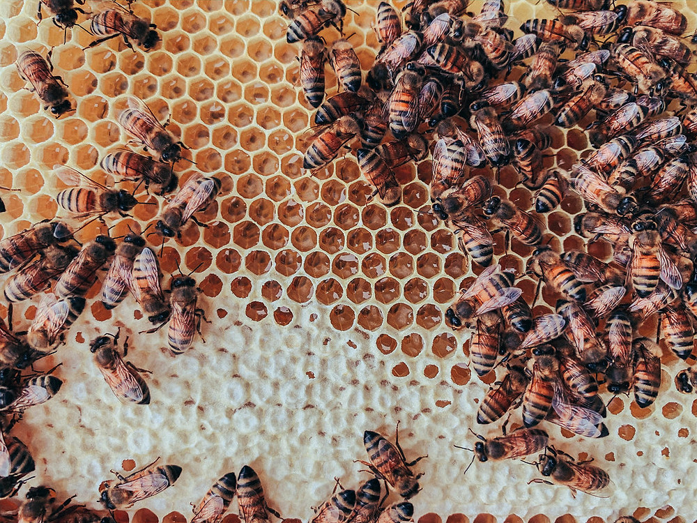 Capped and uncapped honey in a hive