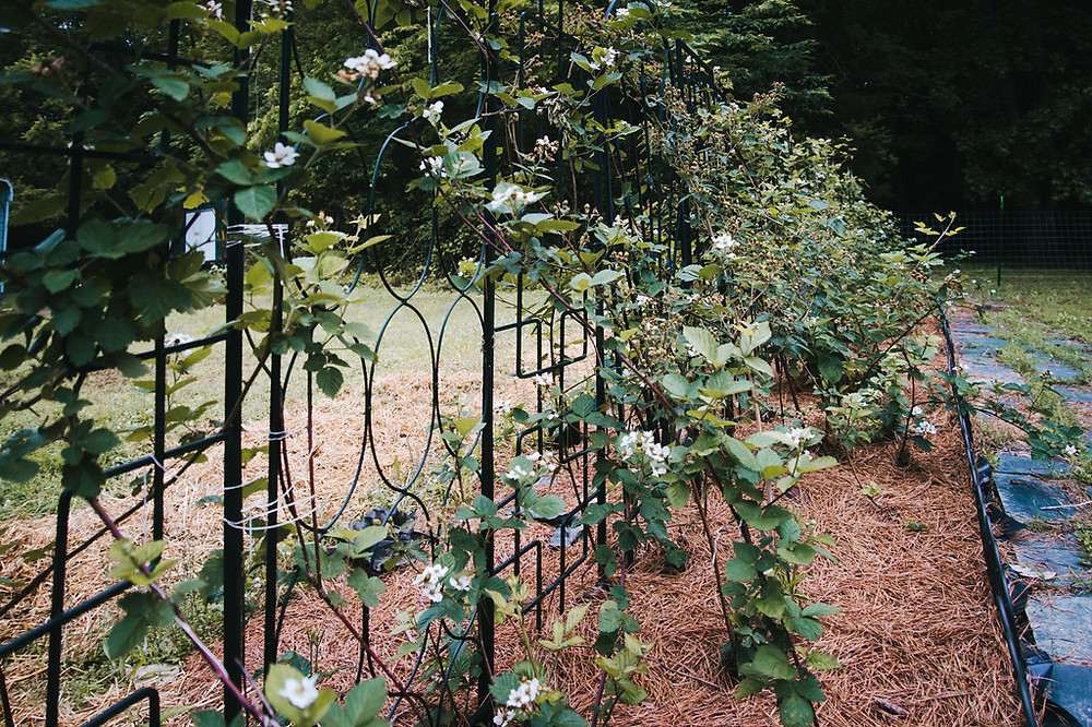 blackberries growing on a trellis in a garden