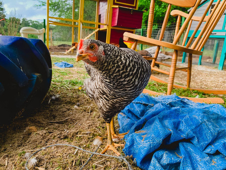 Chicken Profiles:  Thelma
