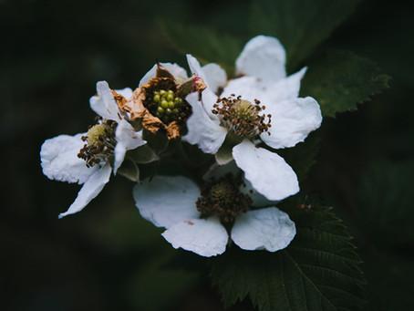 Produce Profile:  Navaho Blackberries