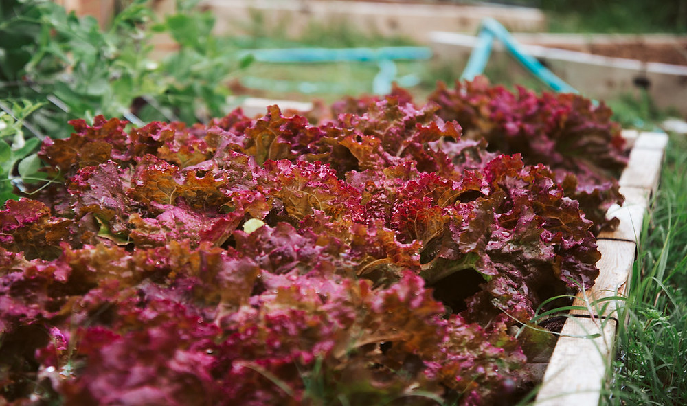 red ruby lettuce in a garden bed