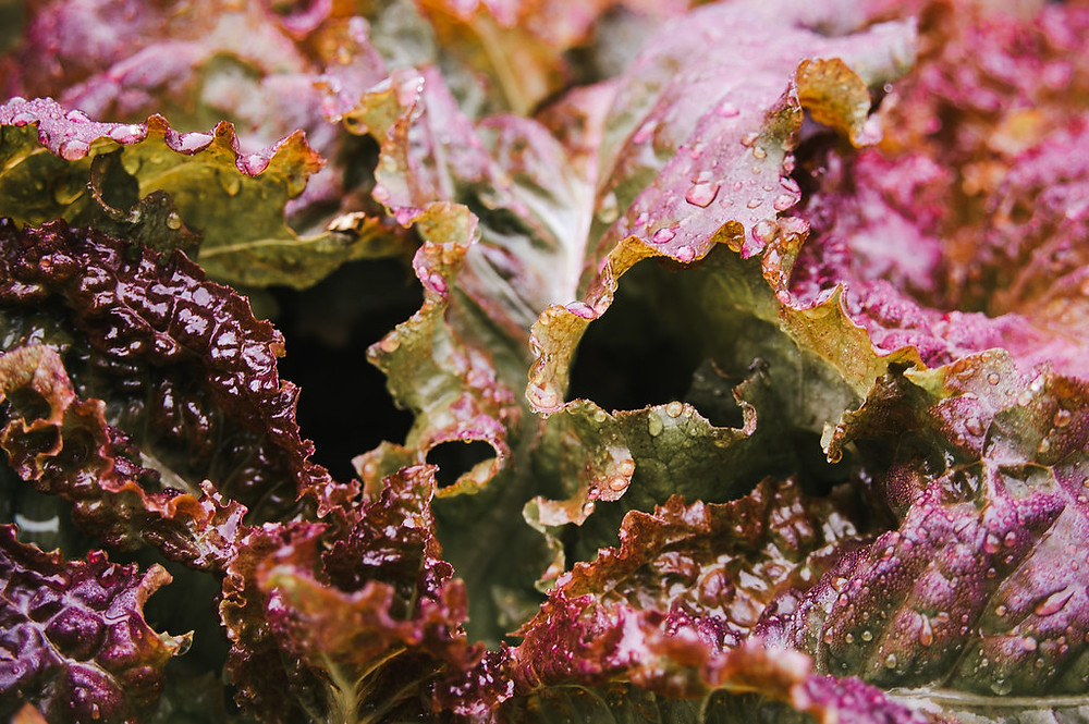 crisp and fresh red lettuce up close