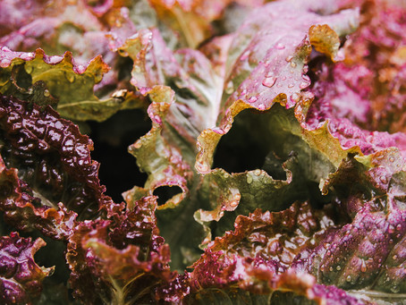 Produce Profile:  Red Ruby Lettuce