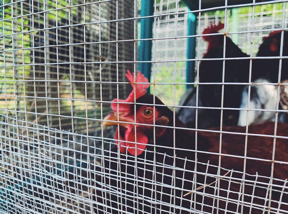 chicken chickens coop fan hot heat safe petunia