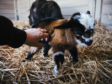Goats update