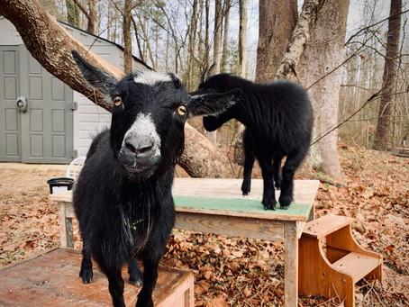 Goat Update