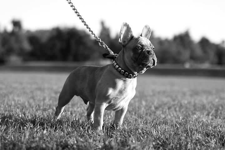 French Bulldog_edited.jpg