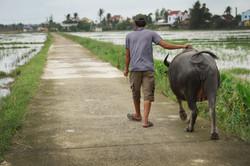 A man and his waterbuffalo