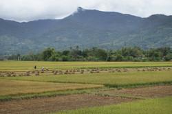 Rice farming, Central Highlands