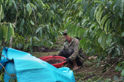 Picking coffee beans off the ground