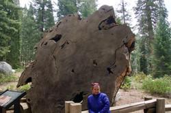 Querschnitt eines Baumstrunks