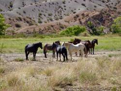 Wilde Pferde