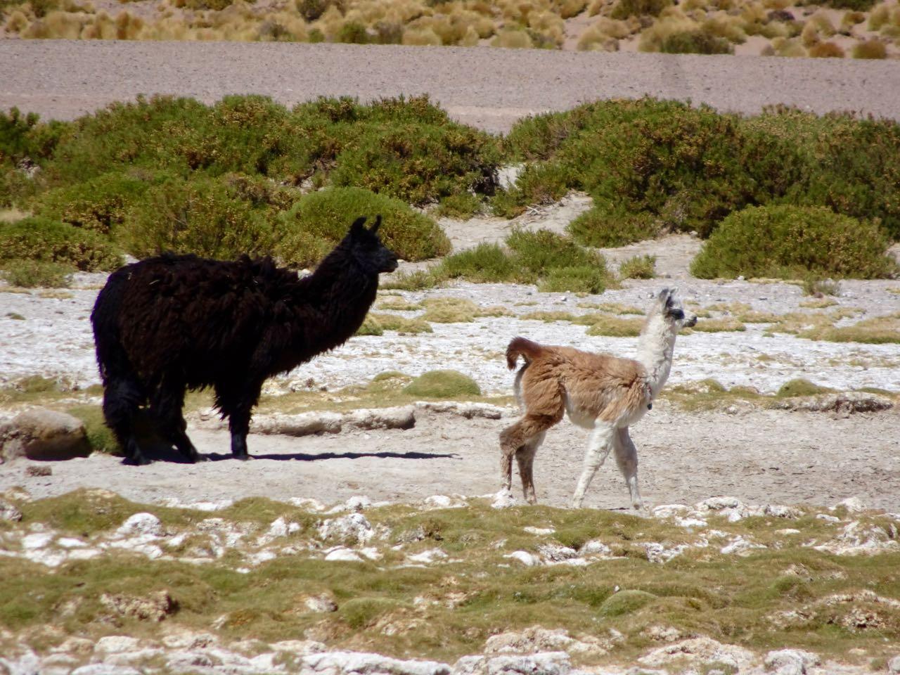 Alpaca mit Jungem