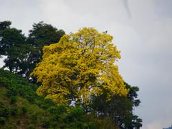 4 Farben im Jahr - Lapacho Baum