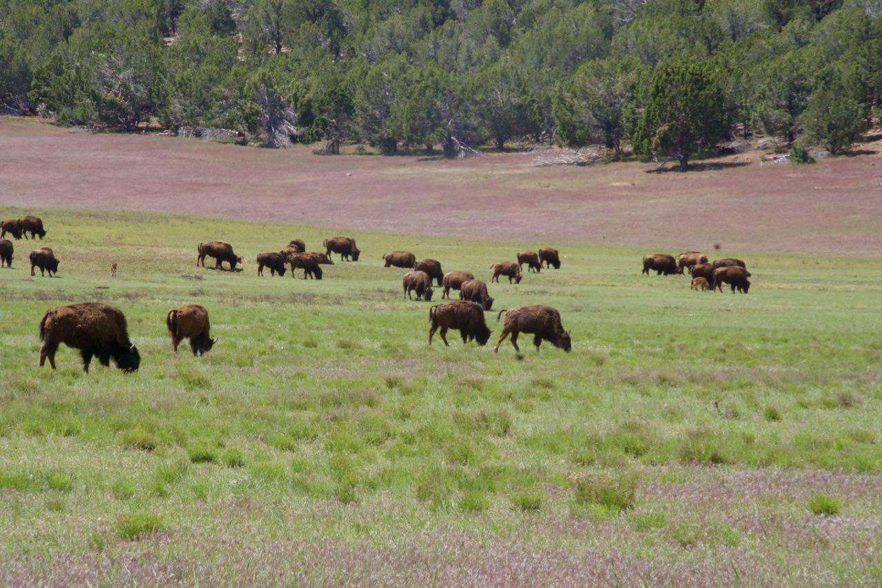 Buffalos vor Zion