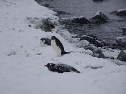 Zügel-,Adelie- und Esel Pinguine